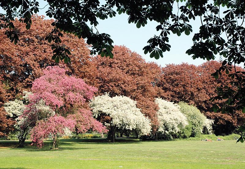 2130_8649 Wiese mit blühenden Bäumen und jungem Rotbuchenlaub ...