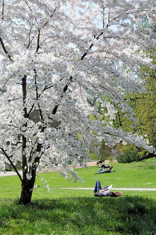 2330_5785 weiss blühender Kirschbaum in Planten un Blomen ...