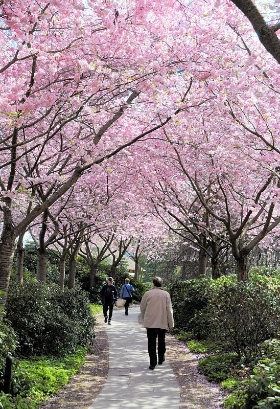 2370 5739 rosafarben bluehende japanische zierkirschen in planten un blomen suche nach 39. Black Bedroom Furniture Sets. Home Design Ideas